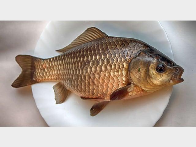 Çim Sazanı - Havuz Balığı